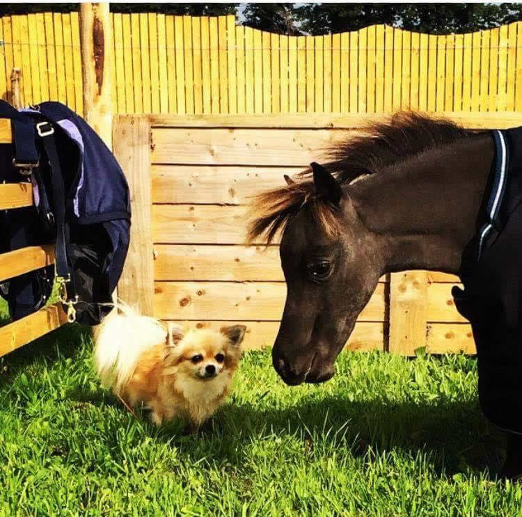 Shetland pony and pomeranian