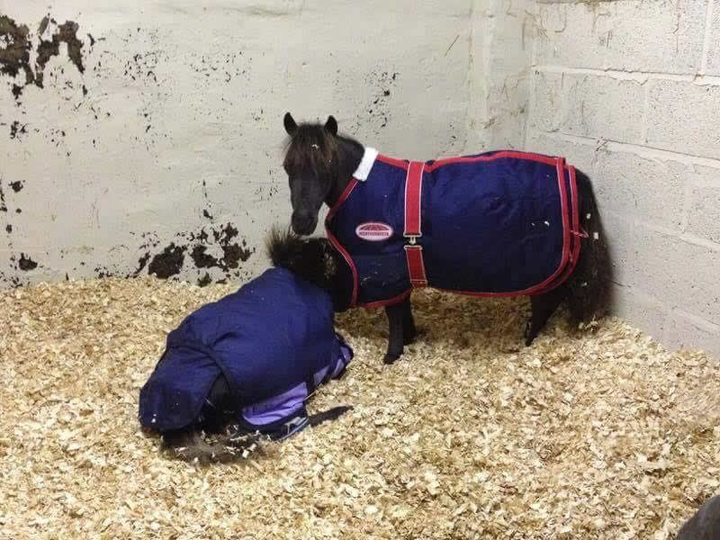 2 Sweet Shetland ponies in stable with their blankets on