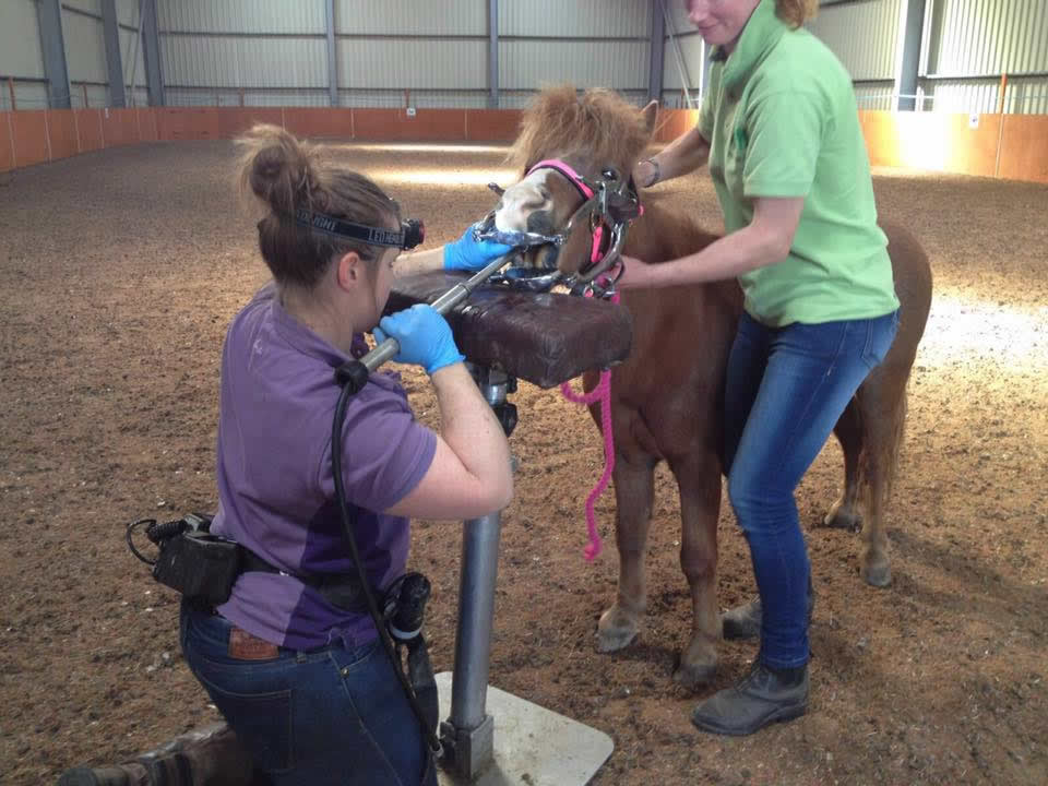 Shetland pony having teeth rasped by vet Ellie from Equine Veterinary Centre