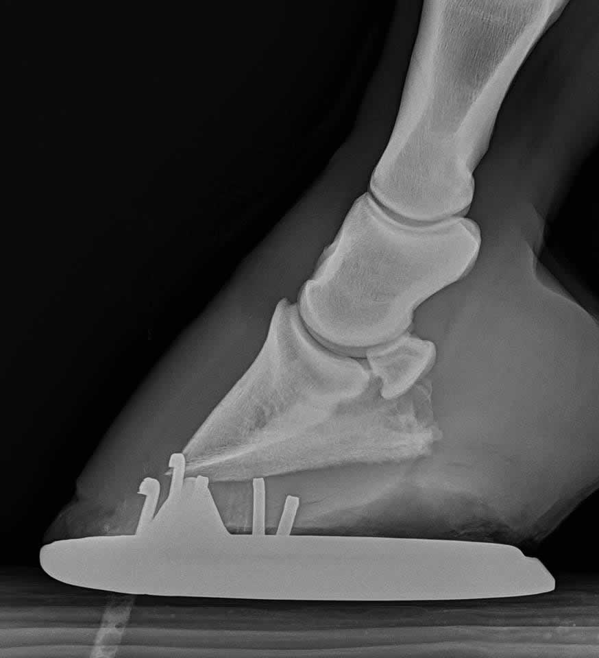 X-ray of horse's hoof showing laminitis
