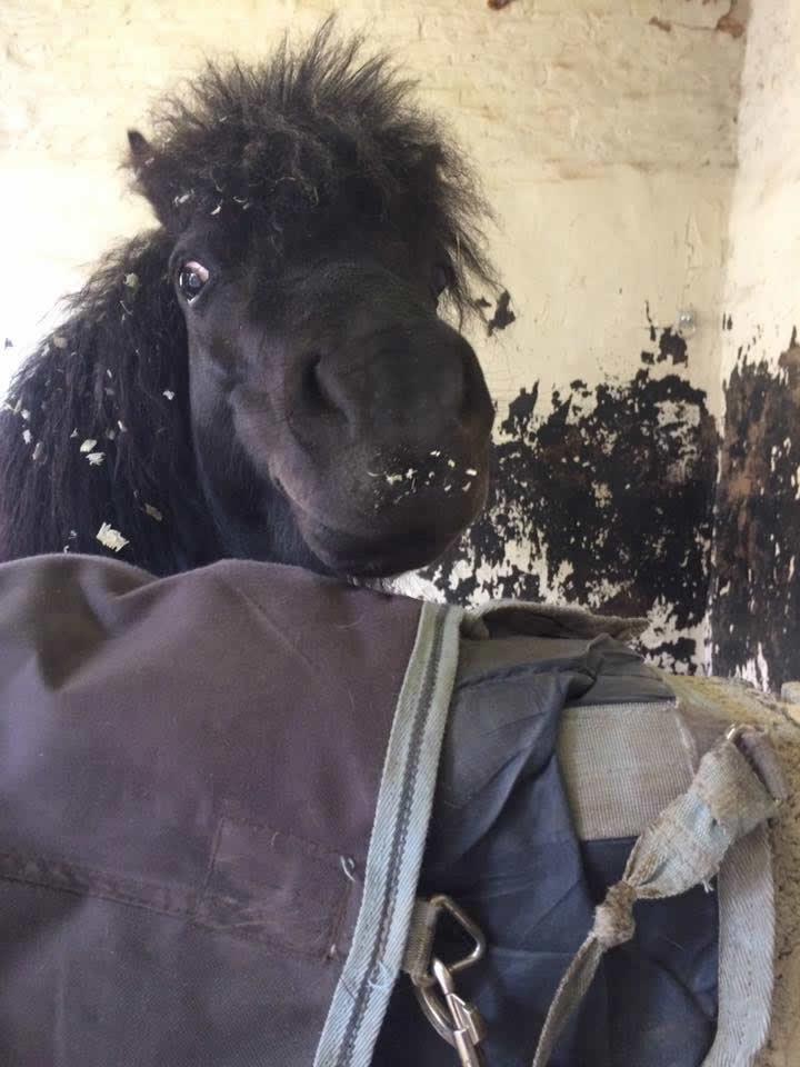 Sweet Shetland pony in stable