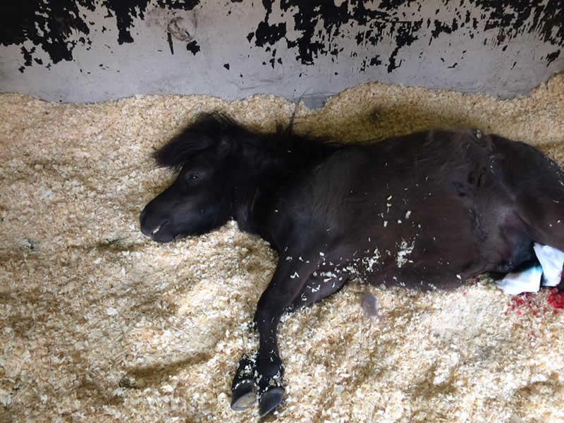 Sweet Shetland pony in stable lying down on straw after castration