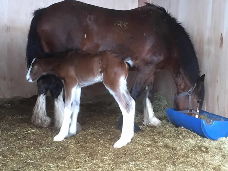 Beautiful new shire foal and Mum