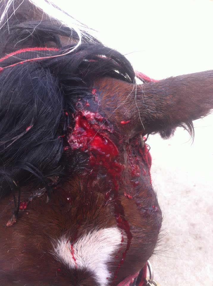 Horse wound on head Equine Veterinary Centre