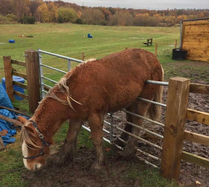 horse Rupert stuck on fence